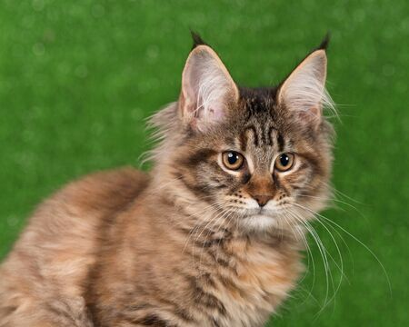 Portrait of Maine Coon kitten over green grass background Reklamní fotografie