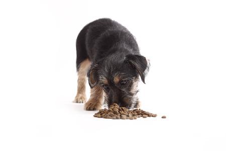 whithe: Mix joven Terrier come comida de perro en fondo del whithe Foto de archivo