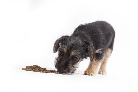 whithe: Young Terrier Mix eats dog food on whithe background Stock Photo
