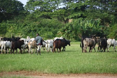 新しい草原に行く途中の緑の手のひらの間 Afrikan 牛 写真素材 - 29858121