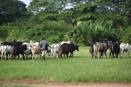 Afrikan cattle between green palms on the way to a new meadow Stock Photo