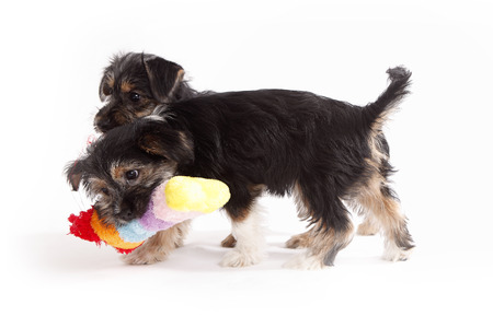 Two young Terrier Mix dogs playing with each other in front of white background 写真素材