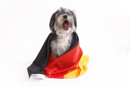 Terrier dog with German flag shout in front of a white background 写真素材