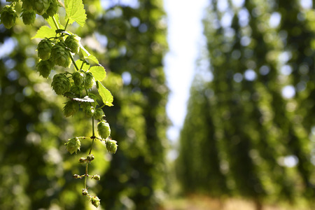 Cultivation of hops in a field in Bavaria, Germany photo