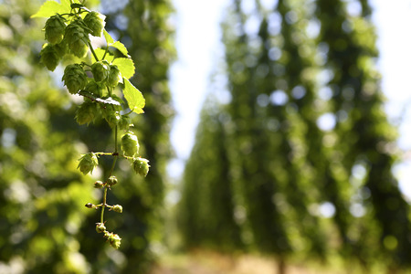 hops: Cultivation of hops in a field in Bavaria, Germany