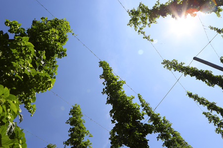 lupulus: Cultivation of hops in a field in Bavaria, Germany