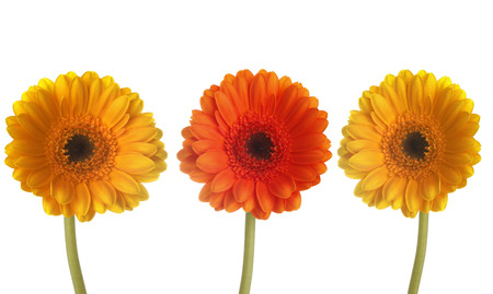 Three colorful gerberas in a row in front of white background Banque d'images