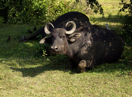 animal welfare: Water buffalo in a National Park in Asia