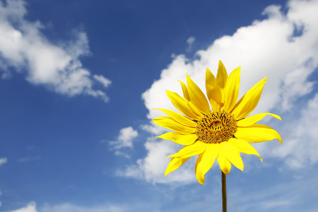 Beautiful yellow sunflower in a blue sky with white clouds photo