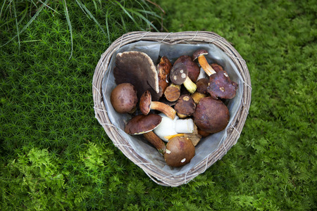 Collected mushroom in a basket in the forest photo