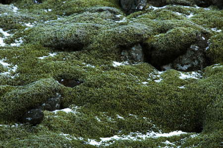 grindavik: Closeup of resistant green moss on volcanic rocks in Iceland