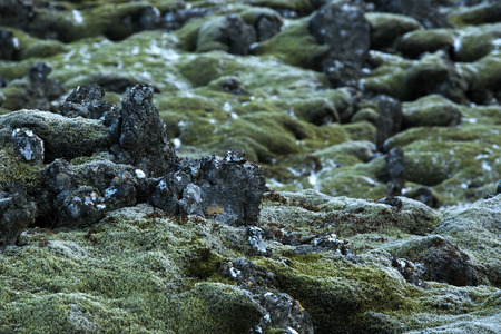 resistant: Closeup of resistant green moss on volcanic rocks in Iceland