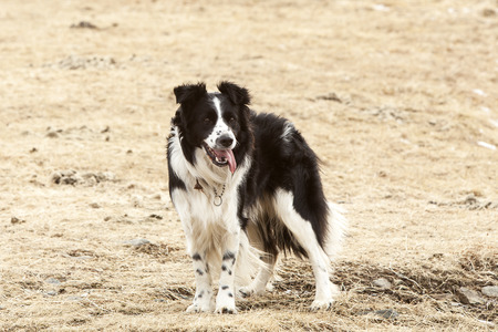 herding dog: Portrait of an attentive and watchful border collie Stock Photo