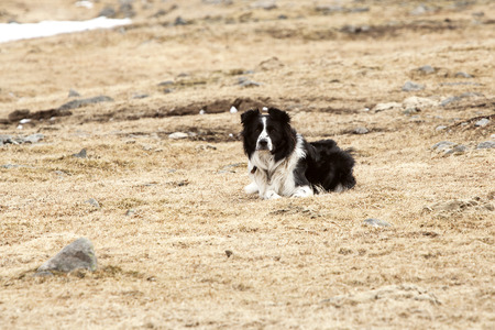 watchful: Portrait of an attentive and watchful border collie Stock Photo