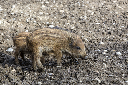 piglets: Two wild young piglets on a field
