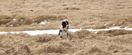herding dog: Attentive dog watches takes care of the herd