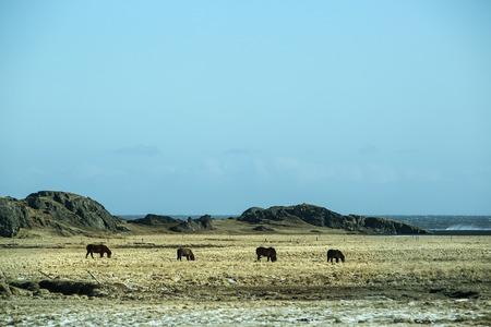 icelandic: Herd of dark Icelandic horses on a meadow in spring