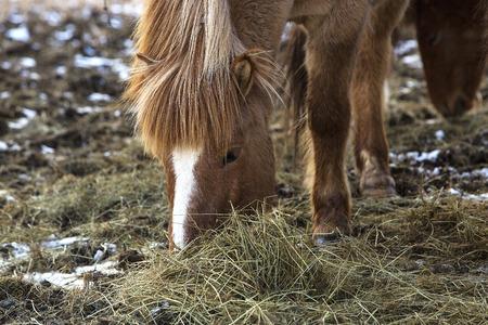 icelandic: Brown Icelandic horse eats grass in spring