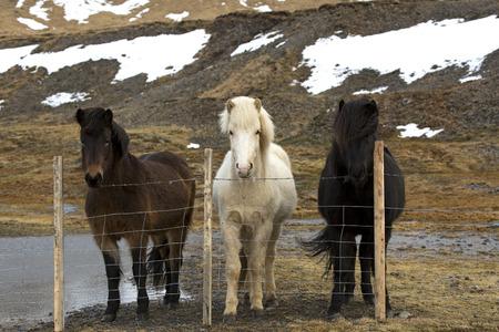 icelandic: Three colours of Icelandic horses behind fence Stock Photo