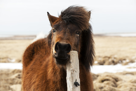 scratches: Brown Icelandic horse with curly mane scratches on the fence Stock Photo