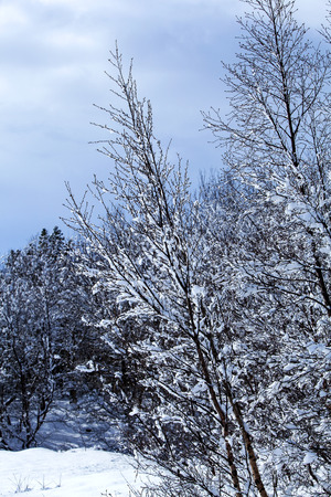 snowcovered: Snow-covered trees in winter Stock Photo