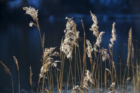 canne: canne d'oro a un lago in autunno
