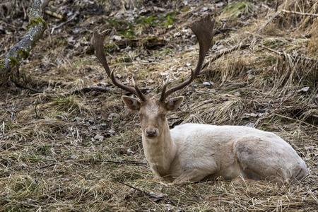 tierschutz: Albino buck deer sits in the forest Lizenzfreie Bilder