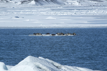 floe: Seals swimming on an ice floe, Iceland Stock Photo