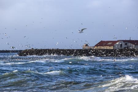 ocean fishing: Gulls hunting for fish at a harbor