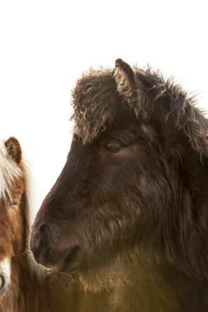 icelandic: Closeup of a young black Icelandic foal with curly mane