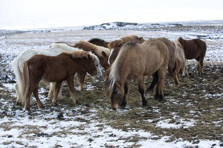 icelandic: Herd of Icelandic horses in wintertime