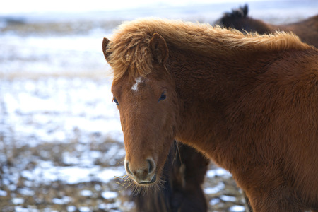 wintertime: Portrait of a young brown Icelandic foal in wintertime