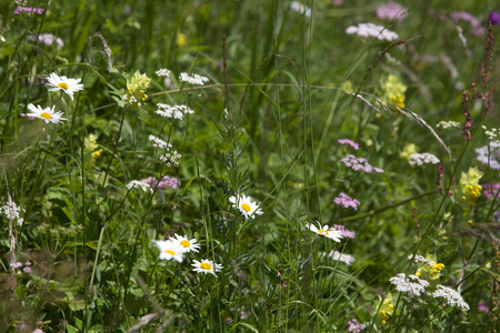 marguerites: Wildflower meadow with marguerites in summertime Stock Photo