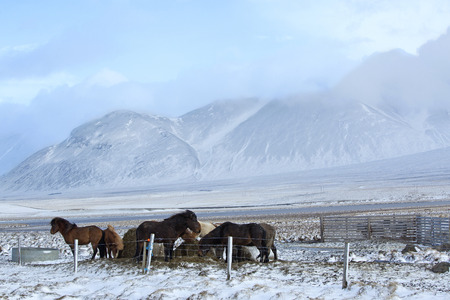 icelandic: Herd of Icelandic horses in front of snowy mountains