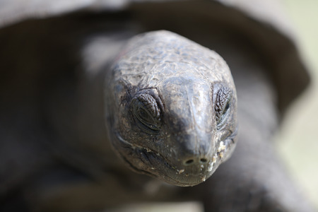 hatchery: Closeup of a giant tortoise at Curieuse island, Seychelles, Indian Ocean
