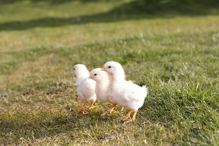 animal breeding: Young chicken on a meadow outdoof