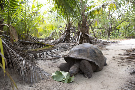 Closeup of a giant tortoise at Curieuse island, Seychelles, Indian Ocean