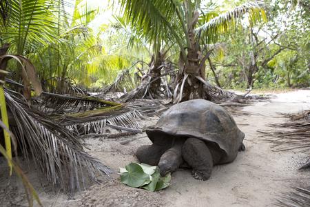 Curieuse 섬, 세이셸, 인도양에서 거 대 한 거북이의 근접 촬영 스톡 콘텐츠