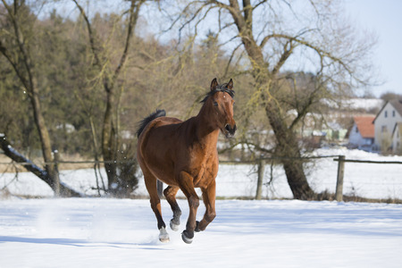 Beautiful brown mare running in wintry landscape