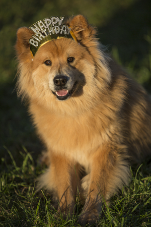 Young Eurasian male dog with happy birthday hair ripe