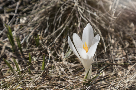 White crocus on a meadow outside in springtime Reklamní fotografie