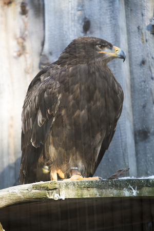 Steppe eagle (Aquila nipalensis) sitting on a tree trunk in sunlight Banco de Imagens