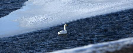 Swan at a frozen lake, wintertime