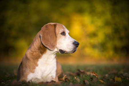 Portrait of a beagle dog in autumnal light Stock Photo