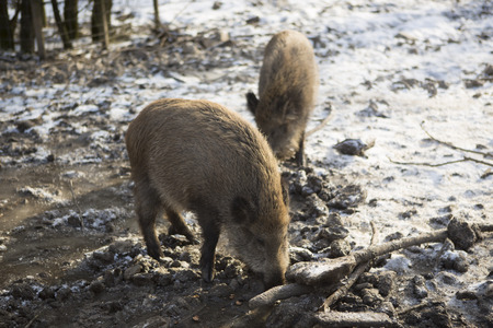 Wild boars outside in snowy wintertime