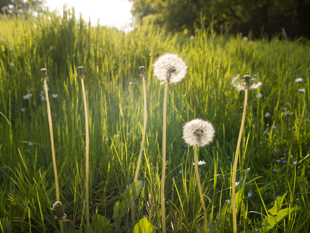 Dandelions on a meadow at sunset