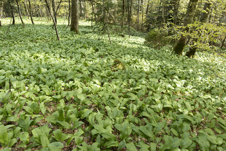 Wild garlic in the green forest in springtime