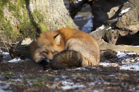 Sleeping fox in a forest