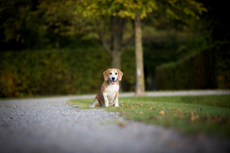 Beagle runs free in a park
