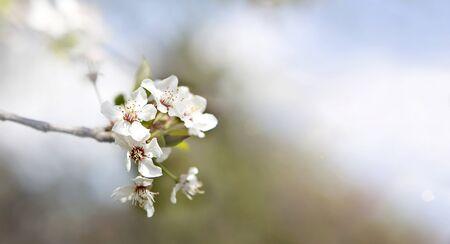 Single cherry blossom on a cherry tree